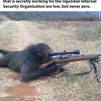 Odds of a Ugandan Sniper Chimpanzee